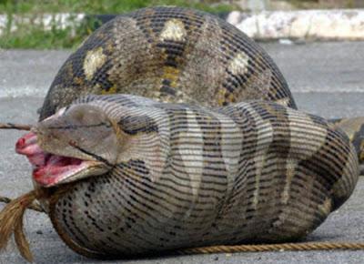 Anaconda swallowing a lamb