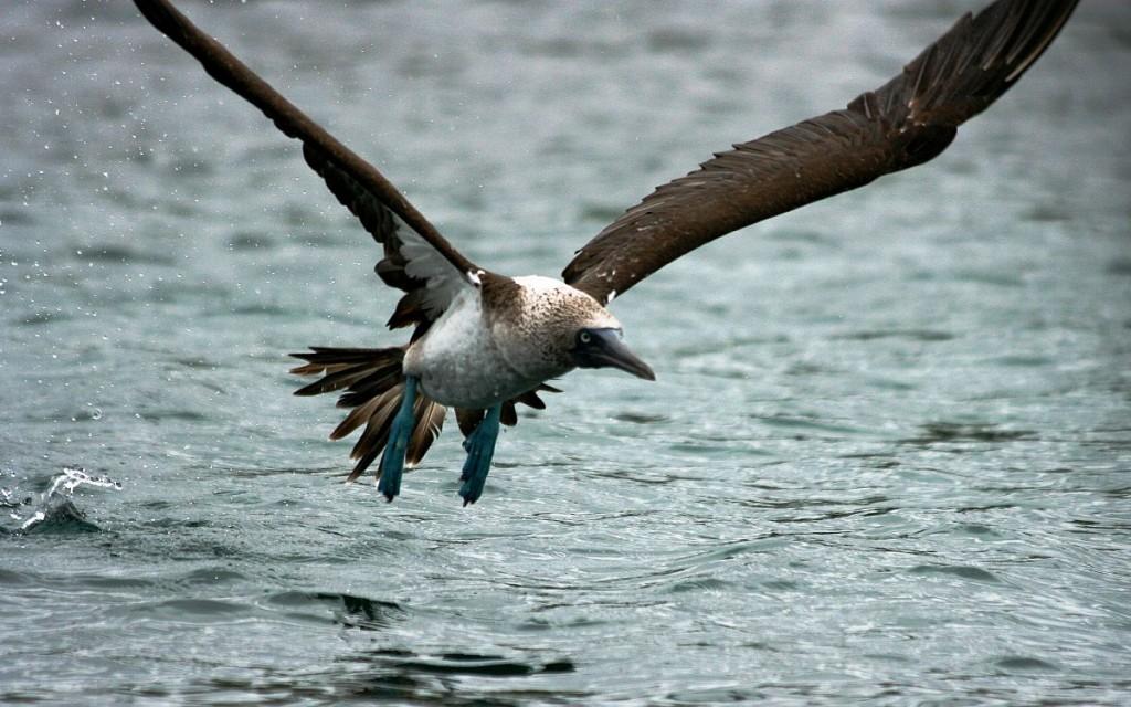 Booby taking flight, Rocafuerte, Santa Cruz Island