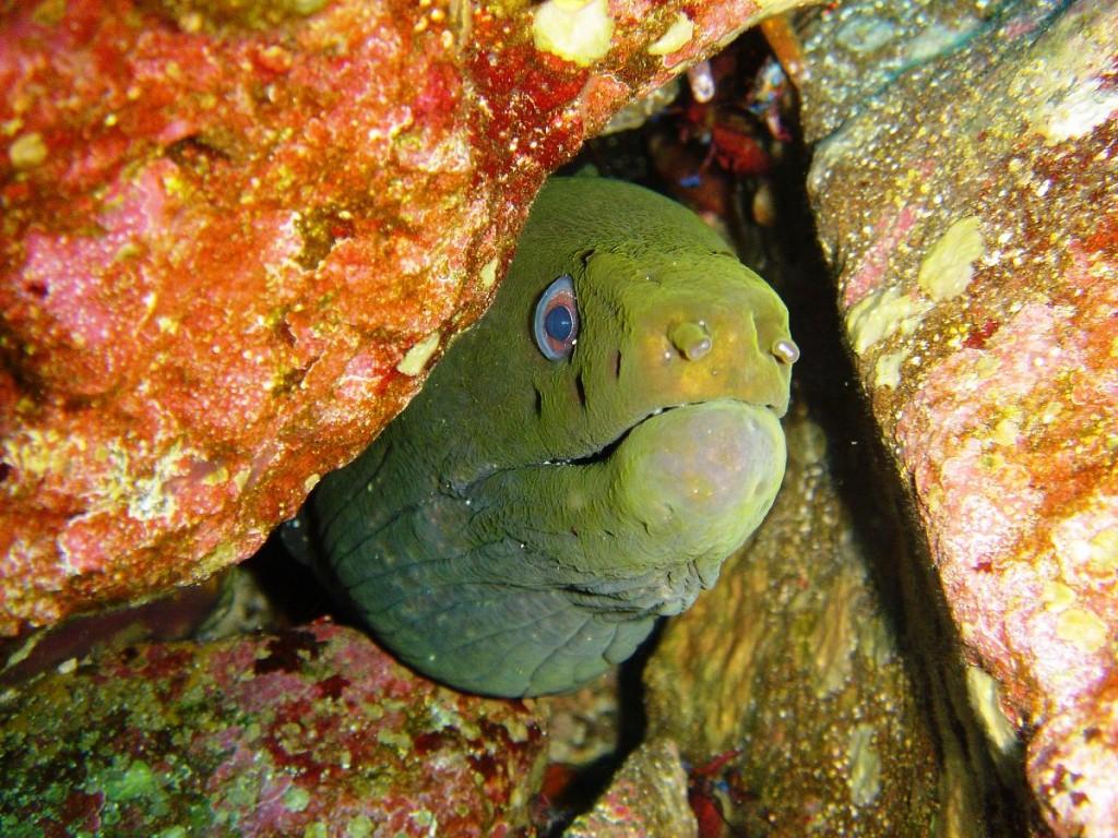 Moray Eel living at Roca este, San Cristobal