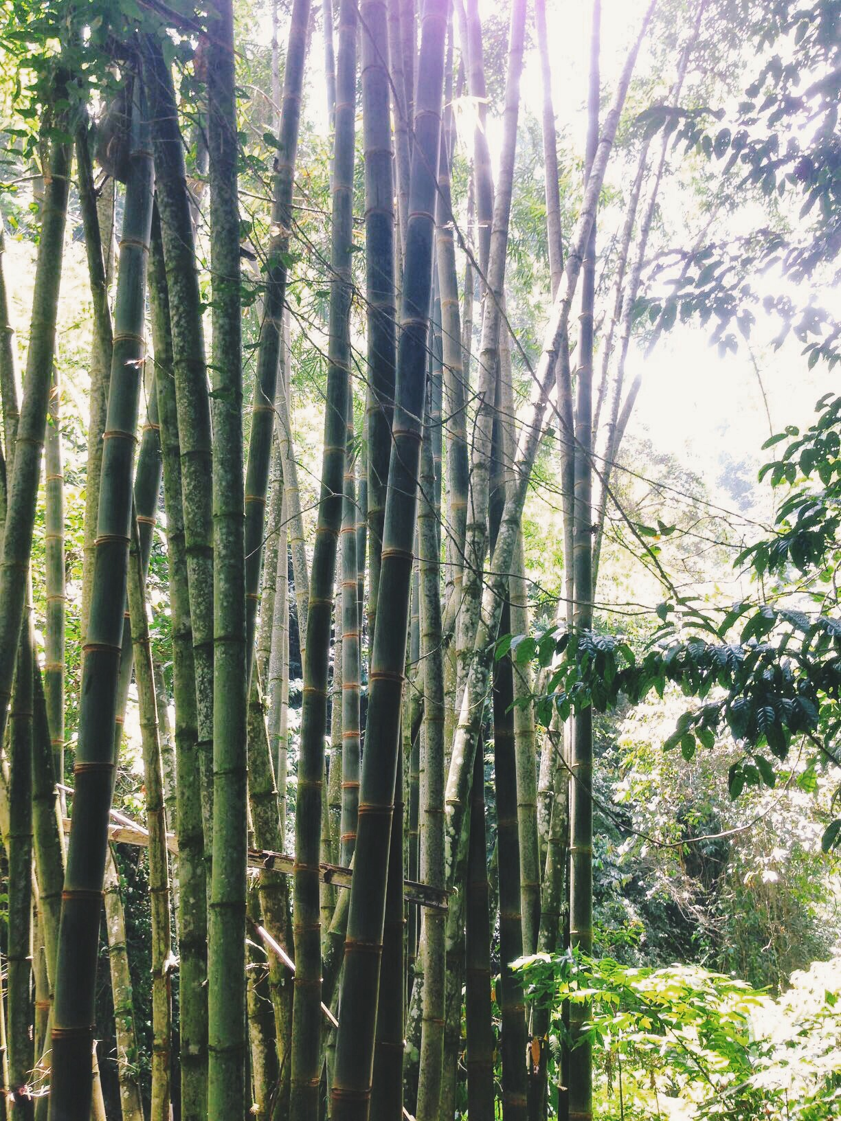 Bamboo at Casaroro Falls