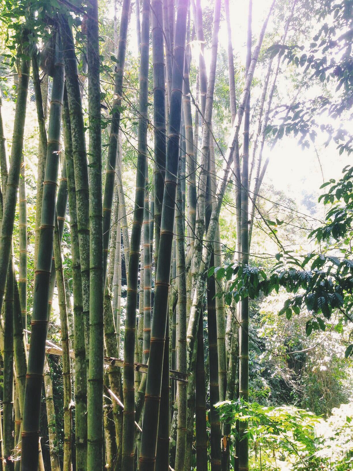 Bamboo at Casaroro Falls