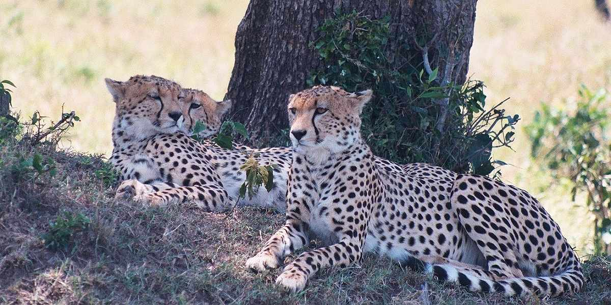 Three cheetah brothers in the Masai Mara, Kenya