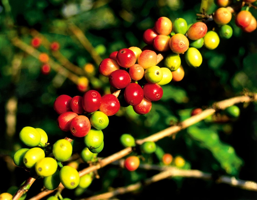 Coffee Beans - Kona Coffee Plantations. Copyright Hawaii Tourism Authority (HTA) / Kirk Lee Aeder.