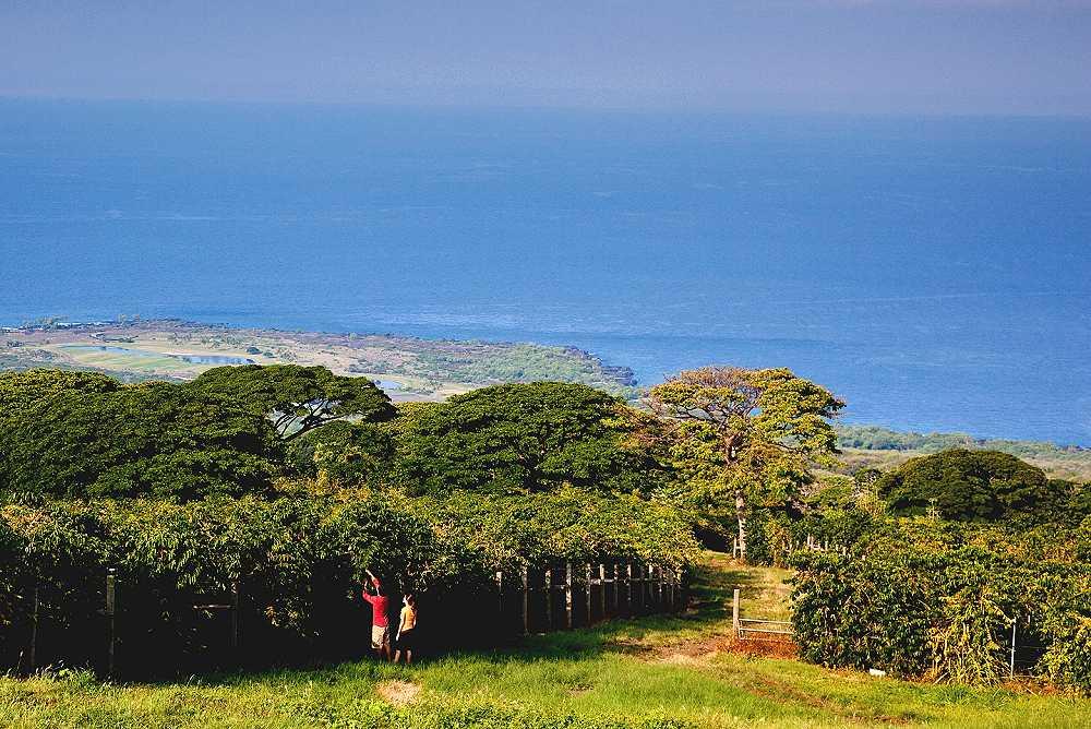 Kona Coffee Plantations Big Island Of Hawaii Reviews